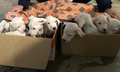 Seveso, otto cuccioli di dogo argentino recuperati dalla Polizia Locale