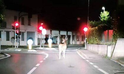 Le foto del cervo che si aggira per le strade di Bernareggio