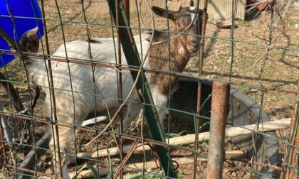 Sette caprette salvate dall'Enpa in un campo nomadi
