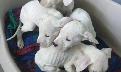Sono morti due degli otto cuccioli di dogo gettati in un sacchetto