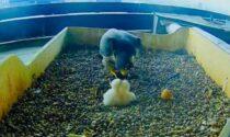"""Falchi pellegrini al Pirellone: schiuse due uova. Fermi: """"Un raggio di sole"""""""