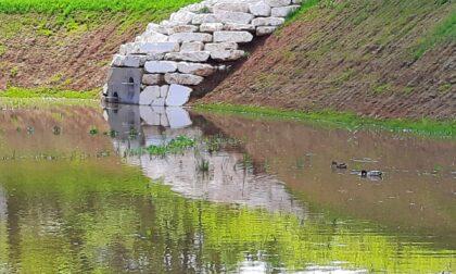 Arcore, una coppia di anatre trova casa nella vasca volano del Laghettone