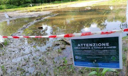Nella pozza c'è un mondo che non ti aspetti: i girini di rospo smeraldino crescono al Parco di Monza