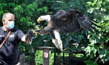 Giussano, il Comune ingaggia falconieri contro i  piccioni