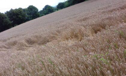Cerchi nel grano, mistero a Canonica?