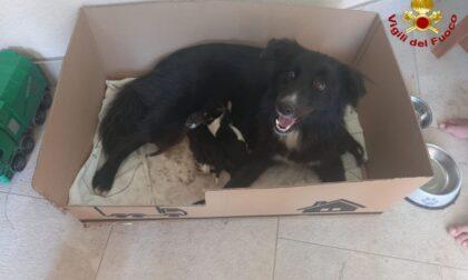 Soccorso speciale a Desio: i pompieri salvano una cagnolina e i suoi cuccioli
