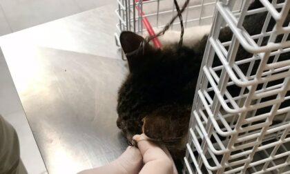 Micio scompare da una colonia felina, ricompare dopo una settimana con un laccio di acciaio al collo